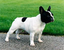 famous french bulldogs in  pedigrees of dogs @ LeChateau kennel
