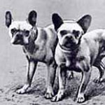 history of a french bulldog