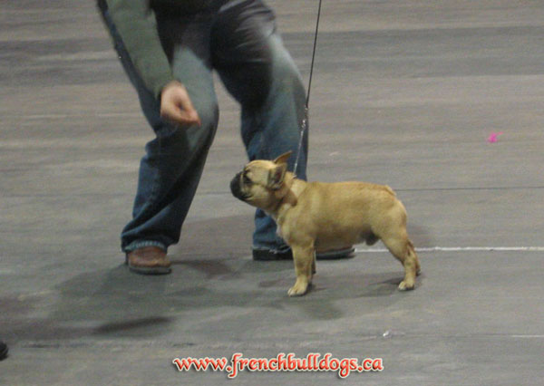 award winning french bulldog - LeChateau Archibald