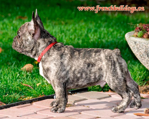 purebred french bulldog puppy - LeChateau's Maximus