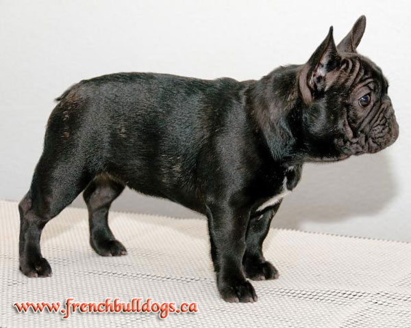 purebred french bulldog puppy - LeChateau's Hot-n-Sassy