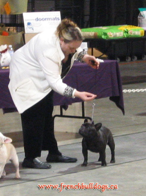 award winning french bulldog - Yamile @ LeChateau kennel