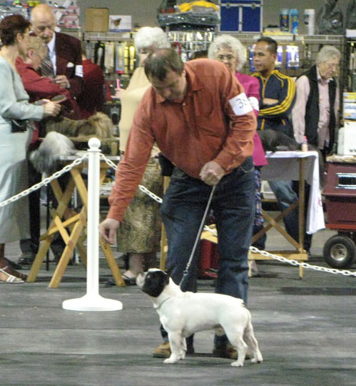 award winning french bulldog - Zon Mirekl Amadeus @ LeChateau kennel