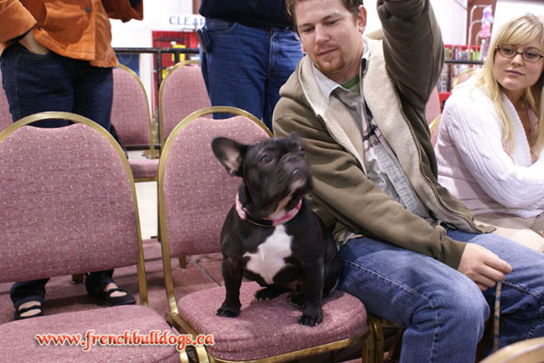award winning french bulldog - LeChateau's Darlene